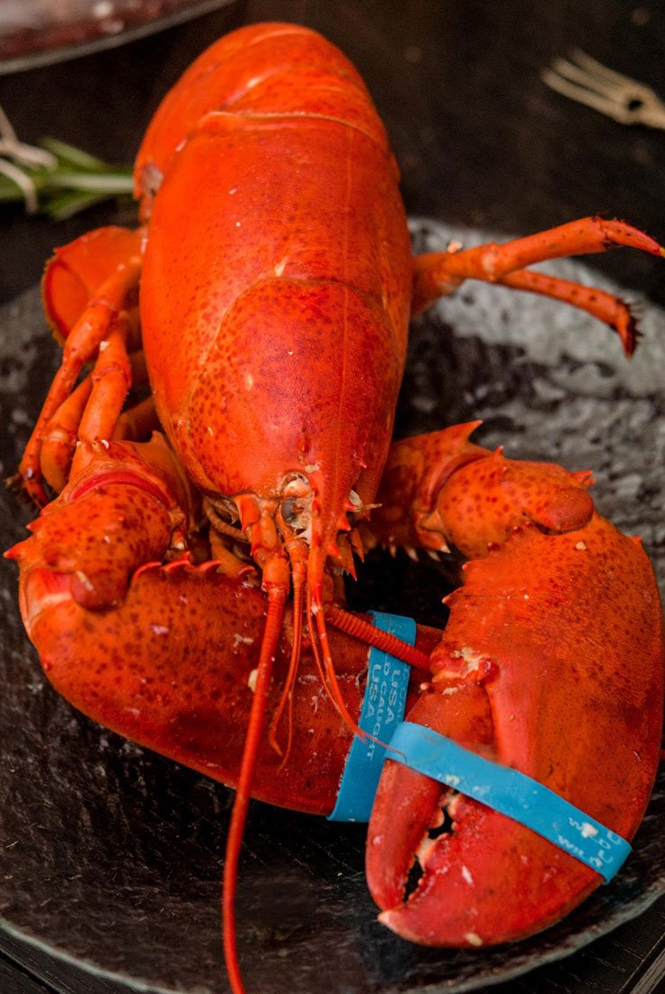 A pretty red lobster with blue rubber bands on its claws sitting on a plate.