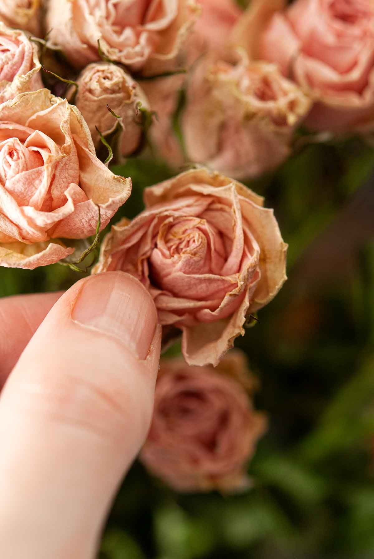 Fingers opening the petals of a spray rose.